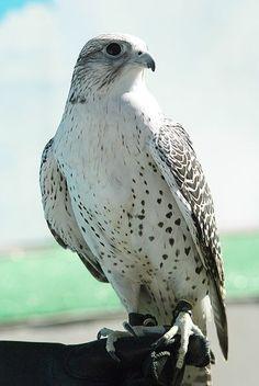 Falco rusticolus (Falcão Gerifalte) - Ave dos Reis e Imperadores.