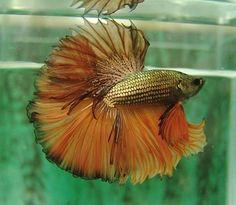 Gold and orange dragon