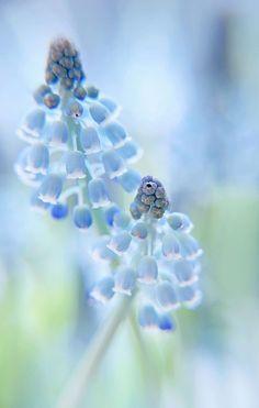 Blauwe druifjes (Muscari botryoides) by VeronikaK