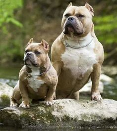 Do you love Pitbull? If yes read the types of Pitbull Breeds that are really popular right now. This list of Pitbull breed is very famous because of their extra ordinary characteristics Amstaff Terrier, Pitbull Terrier, Cute Puppies, Cute Dogs, Dogs And Puppies, Funny Dogs, Animals And Pets, Baby Animals, Cute Animals