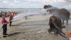 Szombaton lesz a Cirkuszok éjszakája, amely elefántfürdetéssel indul. A balatonlellei Napfény strandon lehet megcsodálni az állatokat.