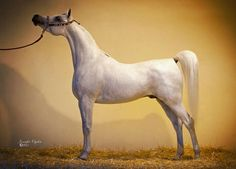 Straight Egyptian Stallion- Barraq Aliaa (Ashhal AlRayyan x Asrar AlRayyan) - photo by Jennifer Ogden
