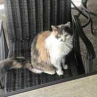 Lakeland Florida Calico Meet Jade Big Kitty A For Adoption Https Www Adoptapet Com Pet 25011289 Lakeland Florida Cat With Images Pet Adoption Pets Lakeland