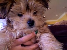 My adorable morkie <3