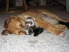 A dog and his ferret buddy - how sweet!