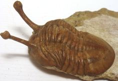 Asaphus Kowalewskii – Ordovician – Russia   FossilsPictures