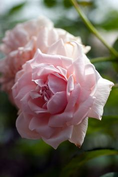 ~Hybrid Tea Rose: Rosa 'September Morn' Bred in USA 2013.   Hybrid Tea  light pink rose with a strong sweet fragrance. Sport of Madame Pierre Euler.