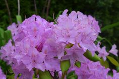 Rhododendrons and azaleas, both from the genus Rhododendron, have long been mainstays of late spring because of their spectacular clusters of showy blooms—plus, large green leaves that often stay green through winter.