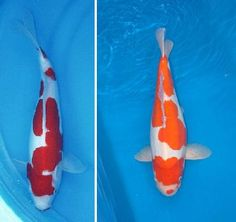 Doitsu Kohaku Koi Fish - White with red markings