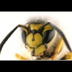Up Close Photo Of A Wasp  Call A1 Bee Specialists in Bloomfield Hills, MI today at (248) 467-4849 to schedule an appointment if you've got a stinging insect around your house or place of business!