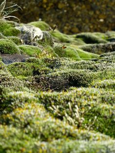 moss mousse Grimmia Pulvinata by pixizone