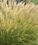Miscanthus grass, for the back of the mixed border on the east fence, with the salvia and coreopsis in front. Tall Ornamental Grasses, Mixed Border, Dwarf Plants, Best Egg Laying Chickens, Monrovia Plants, Plant Catalogs, Sun And Water, Drought Tolerant Plants, Container Plants