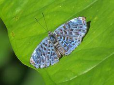 https://flic.kr/p/jYaseZ | Menander aldasi - Blue-dusted Grayler, 26 Oct 2013, Rio Anzu, Pastaza Province, Ecuador (1200m), Glenn Mahler