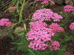 Image result for Yarrow Achillea