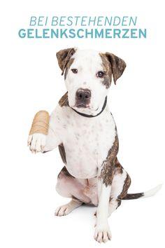 Ob durch Rasse, Veranlagung, Belastung oder Alter – viele Hunde sind von Gelenkproblemen betroffen. Mit Arthrobello® sorgen Sie Schritt für Schritt für die Regeneration des Knorpels, tragen zum Schutz und Aufbau von Knorpelmasse bei und unterstützen so den Bewegungsapparat Ihres Hundes. Alter, Pitbulls, Dogs, Animals, Pet Dogs, Animales, Pit Bulls, Animaux, Pitbull
