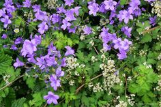 Campanula between Stephanandra incisa 'Crispa' (Kransspirea)