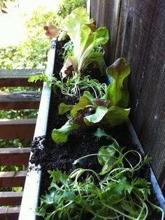Tiffanie's Small Space Gutter Garden