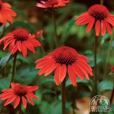 Buy perennial garden plants at our online nursery. Best place to buy plants online! Our mail order catalog has of new flowering perennials for sale. New perennial plants online for sale. Hardy Perennials, Plants Online, Thing 1, Bulb Flowers, Big Sky, Drought Tolerant, Orange Flowers, Dream Garden, Garden Plants