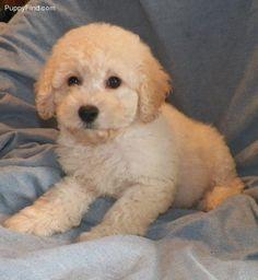 Cavapoo puppies. Henagar, ALABAMA 2566576697 Cavapoos
