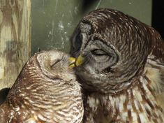 Baci, abbracci e coccole notturne. Sono le effusioni di una coppia di gufi catturate dalla fotografa americana, Lori Shaw, che ha assistito all'evento nello State Wildlife Park della Florida Foto Hotspotmedia/Iberpress
