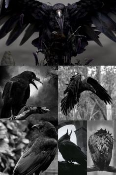 Raven And Wolf, Raven Bird, Beautiful Birds, Animals Beautiful, Rabe Tattoo, Raven Wings, Crow Art, Crows Ravens, Viking Tattoos