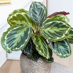 Buy The zebra plant (marantaceae) Calathea Medaillon Goeppertia veitchiana 'Medaillon' - This plant has exotic-looking colourful foliage: Delivery by Waitrose Garden Calathea Plant, House Plants Decor, Plant Decor, Indoor Garden, Indoor Plants, Air Plants, Foliage Plants, Plantas Indoor, Urban Gardening