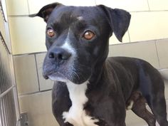 RIVERSIDE CALIFORNIA!!! EUTH LISTED! Sweet possibly mislabeled Boy - Looks more Boxer to me. SEE VIDEO - VERY SWEET!!! Has kennel cough! Needs rescue ASAP! BRIAN - ID #A1222395 I am a male, black and white Pit Bull Terrier. The shelter staff think I am about 4 years old. LINK TO VIDEO: http://www.youtube.com/watch?v=RcdHNy_-Cio... Riverside County Animal Services. https://www.facebook.com/1403036200019402/photos/a.1403050556684633.1073741828.1403036200019402/1481767918812896/?type=1&theater