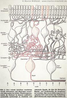 Layers of the retina, Martin Missfeldt (1993)