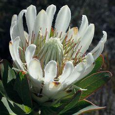 Protea compacta Bot River sugarbush Albino form Suikerkansuikerbos S A no 87,1