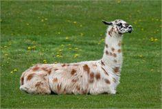 i wanna pet lama before i die!