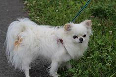 Pluche Chihuahua | Pawshake