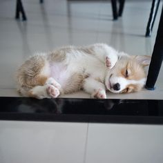 This pretty corgi puppy will bring you joy. Dogs are fascinating friends. Animals And Pets, Baby Animals, Funny Animals, Cute Animals, Fluffy Puppies, Cute Dogs And Puppies, Pomsky Puppies, Teacup Puppies, Lab Puppies