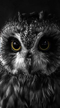 British Owls Short Eared Owl You can find Owl art and more on our website. Owl Photos, Owl Pictures, Owl Wallpaper, Animal Wallpaper, Beautiful Owl, Animals Beautiful, Beautiful Pictures, Owl Bird, Pet Birds