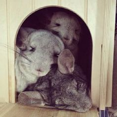 They just LOVE to snuggle up… | Community Post: 10 Reasons Chinchillas Are Super…