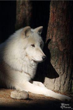 Beautiful Pic. of Wolf.