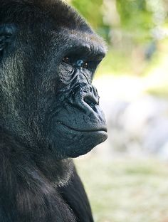 Gorilla in thought | by alan shapiro photography