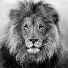 Painting black and white lion ideas Black And White Lion, Black And White Posters, Beautiful Cats, Animals Beautiful, Cute Animals, Lion Pictures, Animal Pictures, Lion Love, Lion Painting