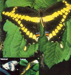 Google Image Result for http://www.floridiannature.com/giant%2520swallowtail.jpg