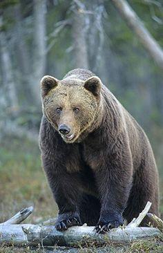 """""""Hey, Hey, Hey... I'm a friend of Yogi Bear""""  European brown bear"""