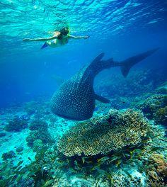 Oslob en Cebu  Tanto en Oslob en Cebu como en Donsol al sur de Luzón, es muy fácil avistar tiburones ballena. A pesar de lo terrorífico de su nombre o de su enorme tamaño, estos tiburones son animales inofensivos, sólo se alimentan de plankton. Una de las experiencias más inolvidables que puedes tener en tu viaje de mochilero a las Filipinas es… sí, lo has adivinado: nadar con estos tiburones. Sólo necesitas hacer un viaje en bote mar adentro para poder bucear con estas espectaculares…
