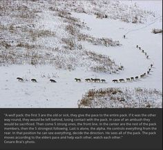 """Wolf pack behavior """"explained"""". (Saw this on Facebook. Where else?) I swear, people will believe any fool thing, especially if it makes animals seem like benevolent humans. https://www.truthorfiction.com/photo-of-a-wolf-pack-explains-wolf-behavior/"""
