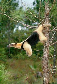 The Southern Tamandua Is A South American Anteater Mainly Active During Night They Are Good Climbers But Quite Clumsy On Ground