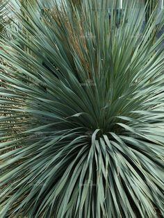 Dasylirion wheeleri jardin m diterran en plantes et jardins for Bouture yucca exterieur