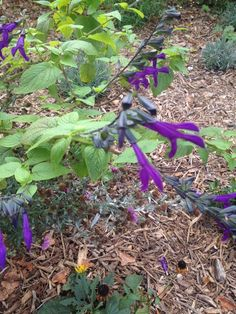 Friendship Sage (salvia amistad): A sage that is a hybrid of Salvia guaranitica x S. gesneriflora?.  A semi-shrubby perennial that can get 4 feet by 4 feet, in a season.  Full sun on the coast, to partial shade inland.  Good drainage with regular to moderate watering.  Evergreen in frost free area or root hardy in colder areas.  Long season of bloom.