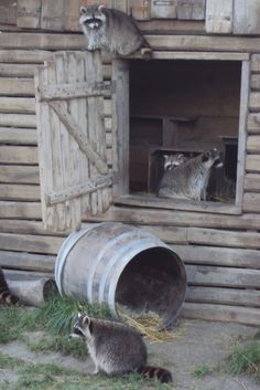 Raccoons from Rotterdam Zoo (Diergaarde Blijdorp)