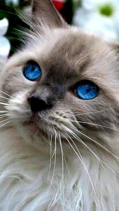 Cute Baby Cats, Cute Cats And Kittens, Cute Little Animals, Cool Cats, Kittens Cutest, Pretty Cats, Beautiful Cats, Cute Cats Photos, Rare Cats