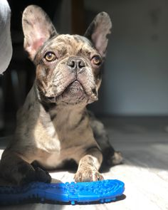 #französischebulldogge #french #bulldog #frenchiesofinstagram #baby #merle #cocomerle #frenchiepetsupply #frenchbulldogpuppy #frenchiesofinstagram #dogsofinstagram #frenchbulldogs #frenchbulldogmoments #frenchiephotos #bellaluciathefrenchie #frenchielove_feature #bullyinstafeature #bullyinstagram #daily_frenchie #thefrenchiepost #loveabully #frenchbulldogfeature #bellaluciathefrenchie Merle French Bulldog, Animals Beautiful, Bullying, Photo S, Pet Supplies, Photo And Video, Dogs, Cute, Baby