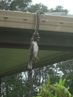 meanwhile in australia - snake eating minor bird (?) from a gutter, great catch mate!