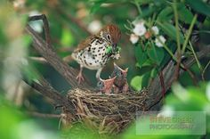Wood Thrush, at the nest with hungry chicks. Medford, New Jersey