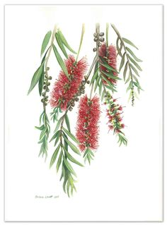 Australian Native Flowers (Set of - Limited edition prints Ed. 57 of 100 by Darlene Lavett. Paintings for Sale. Australian Wildflowers, Australian Native Flowers, Australian Plants, Australian Art, Australian Painting, Tattoo Australia, Native Drawings, Australian Native Garden, Flower Sketches